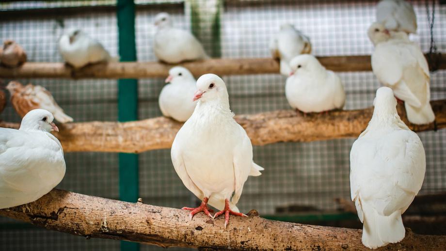 Gołębie pocztowe – wszystko, co musisz wiedzieć o ich hodowli