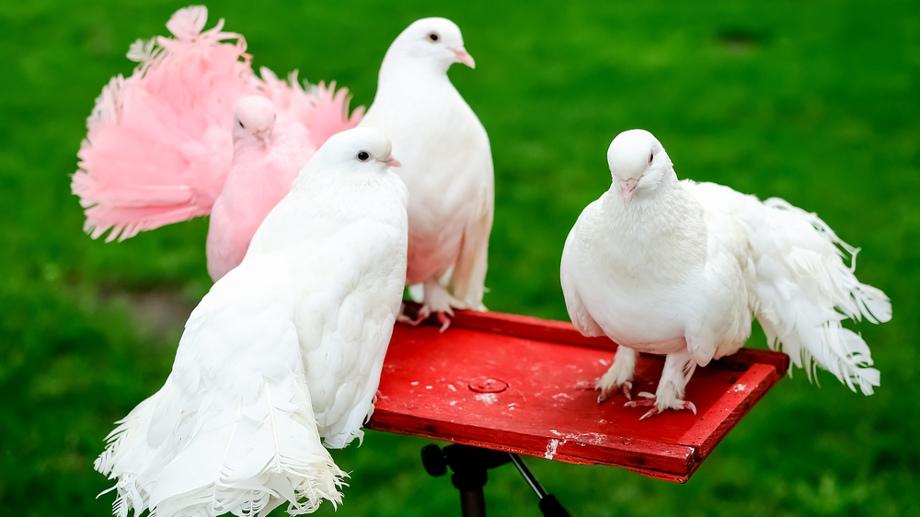Gołębie ozdobne – niezbędne akcesoria do hodowli