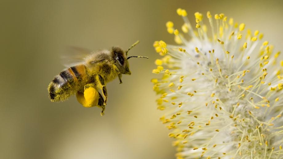 Pszczeli pyłek kwiatowy i jego cudowne właściwości